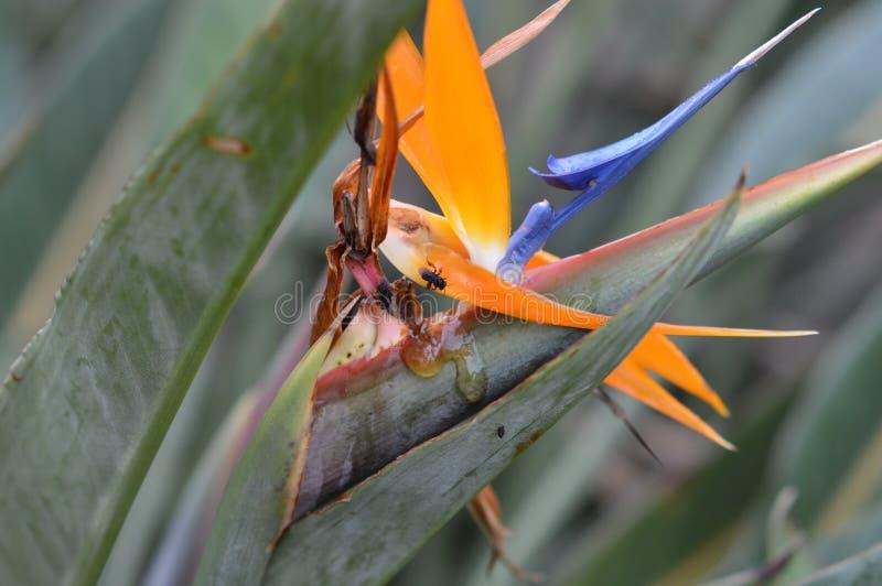 Pszczoły na pomarańczowym i fioletowym kwiacie zdjęcie royalty free