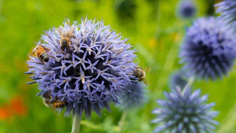 Pszczoły na purpurowym kwiacie zbierają nektar Bardzo piękny tło od to samo kwitnie obrazy royalty free