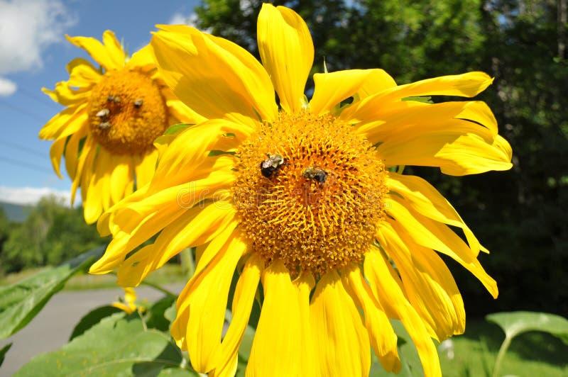 Pszczoły na słonecznikach obrazy royalty free