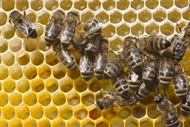 Pszczoły nawracają nektar w miód zdjęcie royalty free