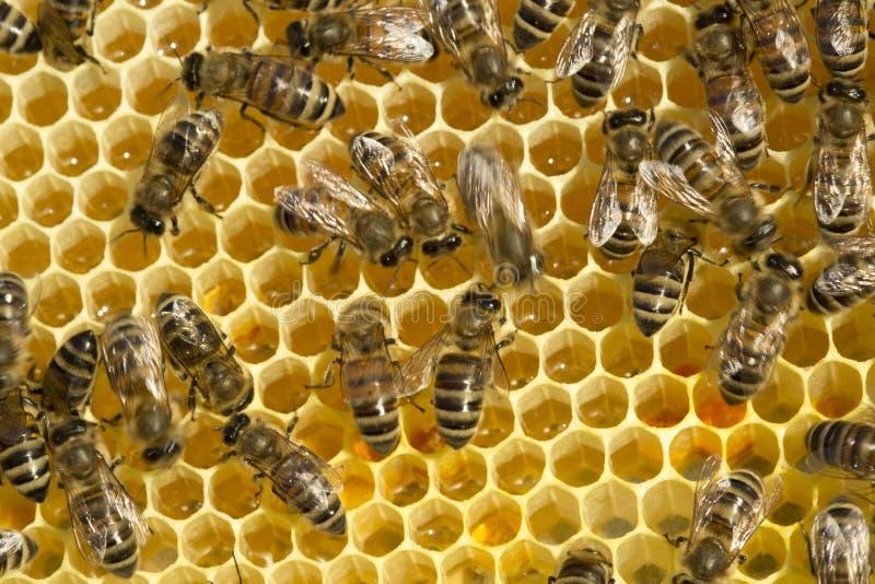 Pszczoły nawracają nektar w miód zdjęcia stock