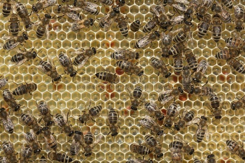 Pszczoły nawracają nektar w miód zdjęcie stock