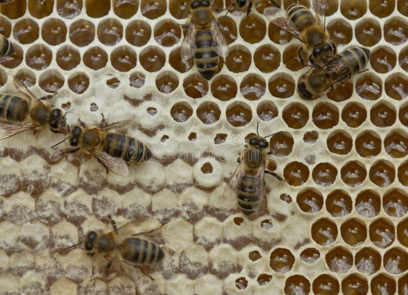 Pszczoły nawracają nektar w miód i zakrywają je w honeycombs zdjęcia royalty free