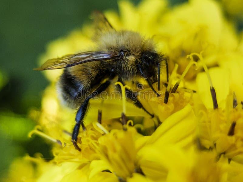 Pszczoły obsiadanie na żółtym kwiacie i zbiera nektar makro- obraz royalty free