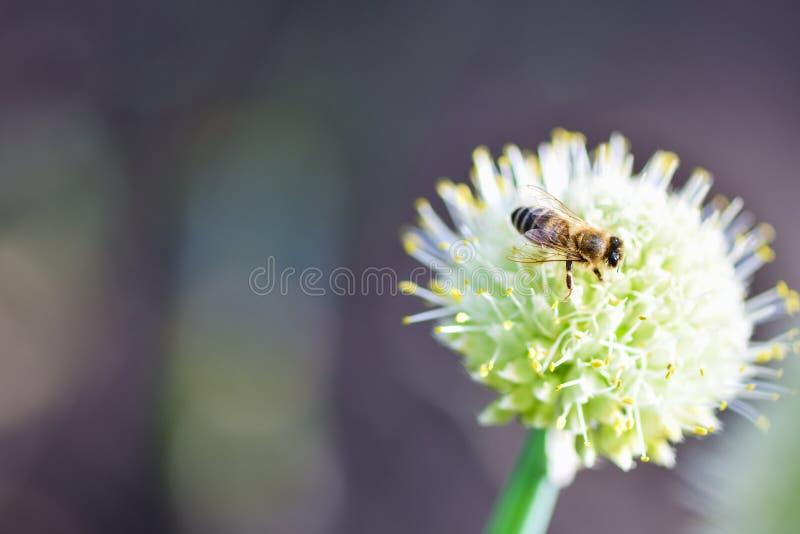 Pszczoły obsiadanie na cebulkowym kwiacie w ogródzie obrazy royalty free