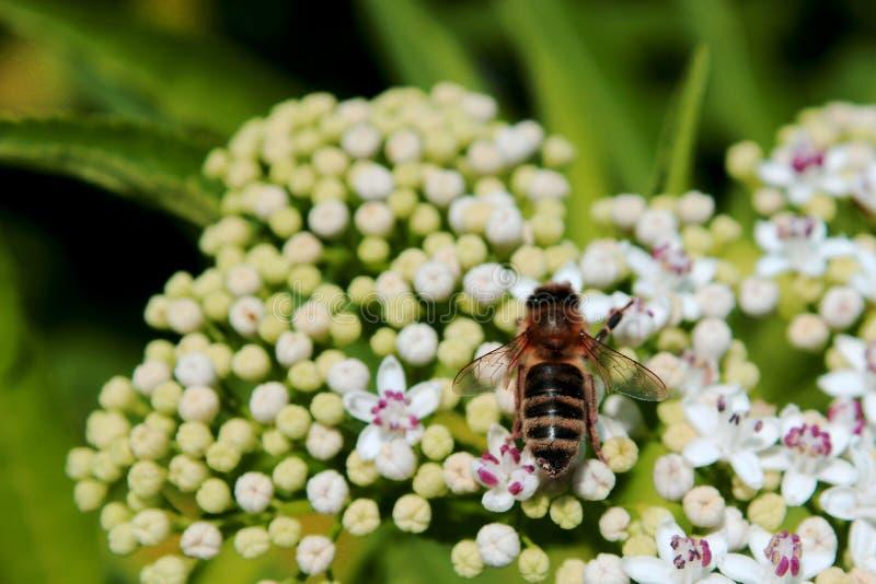 Pszczoły obsiadanie na kwiacie obrazy royalty free