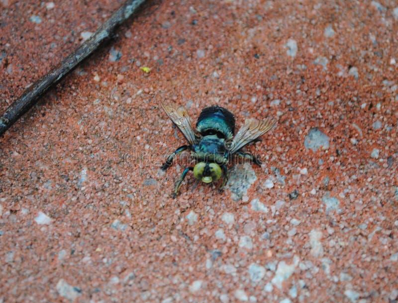 Pszczoły osy Latającego insekta zieleni błękit żadny Stinger obraz stock