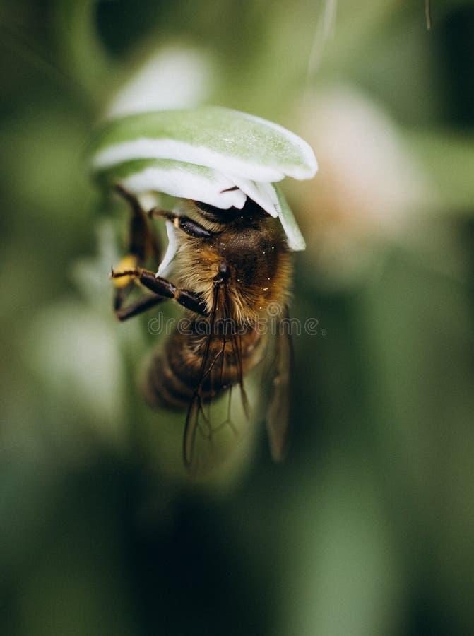 Pszczoły pollen okurzania kwiatów zbieracki pole obrazy royalty free