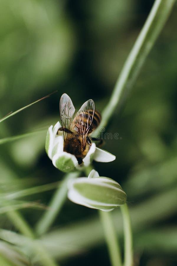 Pszczoły pollen okurzania kwiatów zbieracki pole zdjęcie stock