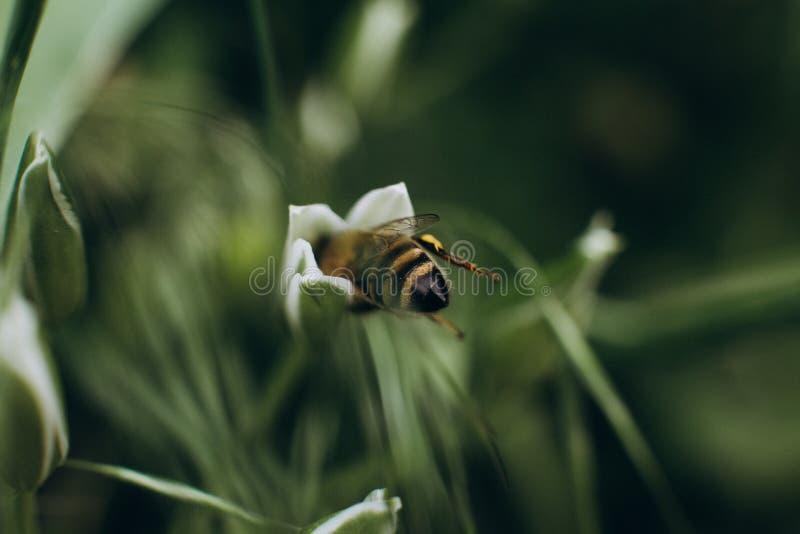 Pszczoły pollen okurzania kwiatów zbieracki pole obraz stock