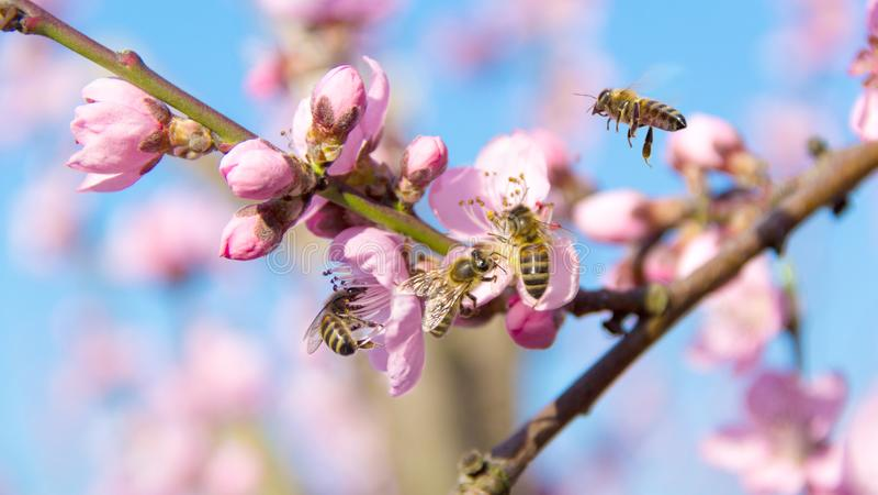 Pszczoły pracuje na brzoskwinia kwiatach Zbieracki nektar dla miodu od owocowego drzewa zdjęcie stock