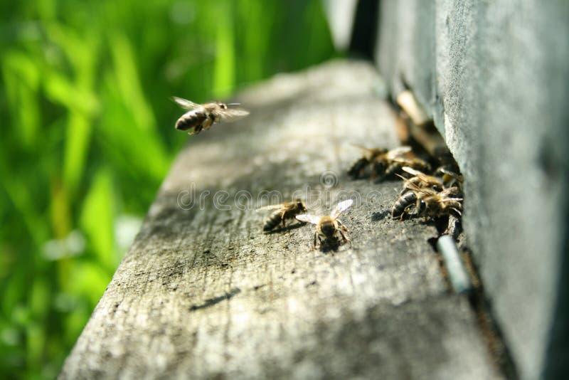 Pszczoły przy gniazdowym wejściem obraz royalty free