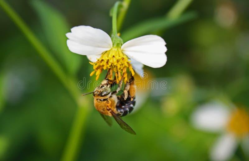 pszczoły skrzyknący błękit obraz royalty free