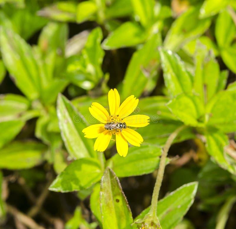 Pszczoły ssają nektar kwiaty zdjęcia royalty free