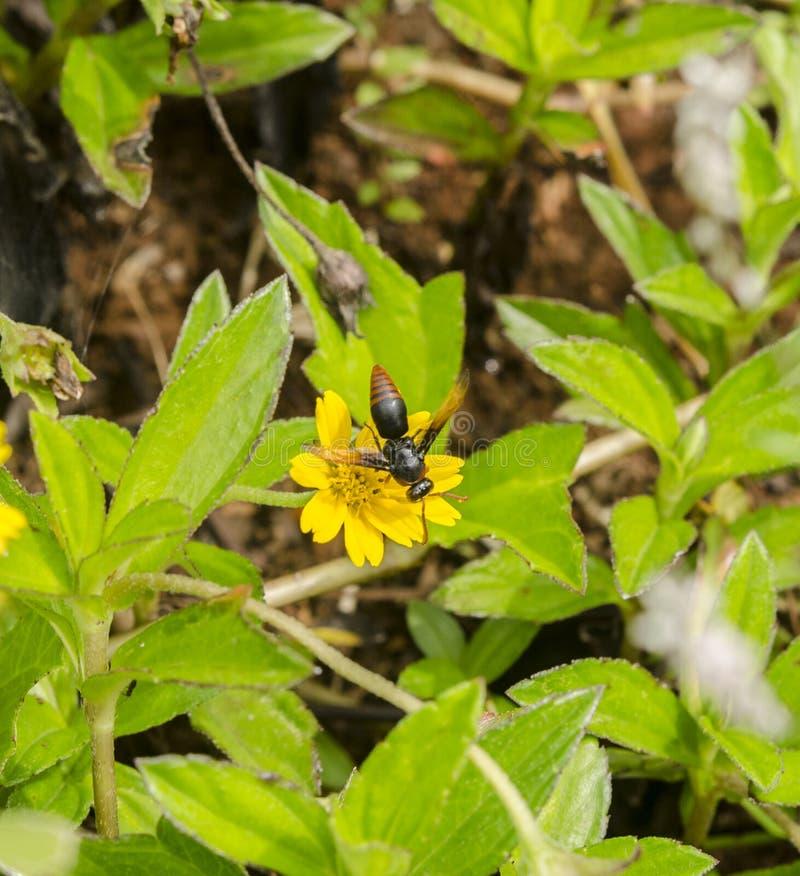 Pszczoły ssają nektar kwiaty fotografia royalty free