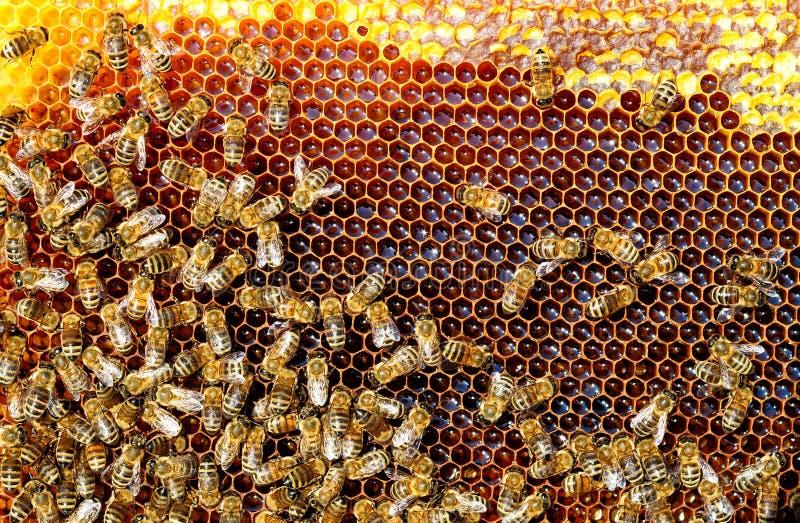 Pszczoły w roju nawracają nektar miód Honeycomb fotografia stock