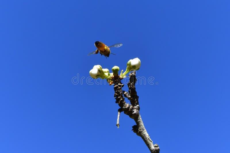 Pszczoły zapylać obrazy royalty free