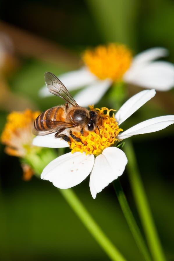 pszczoły zapylanie obraz stock