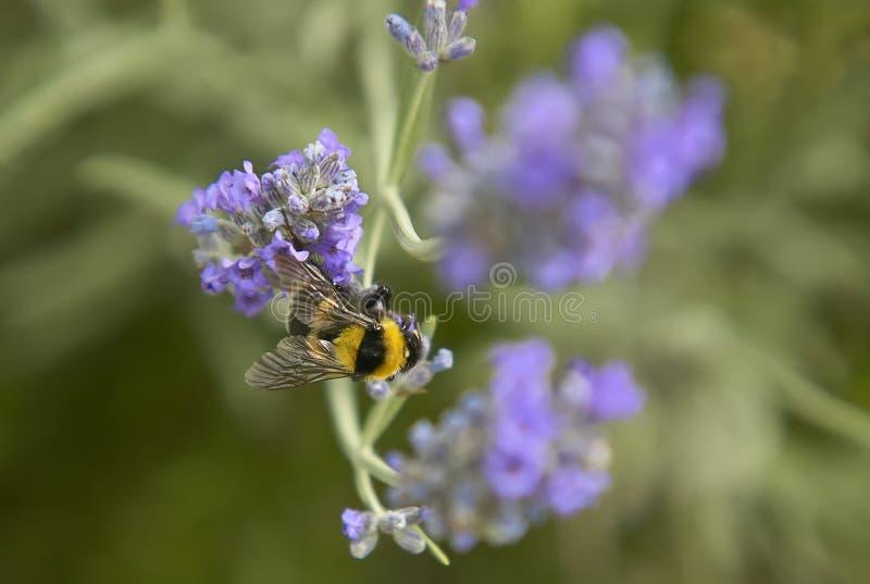 Pszczoły zapylanie zdjęcia royalty free