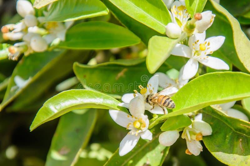 Pszczoły zbieracki pollen od pomarańczowego drzewa kwiatu zdjęcie stock