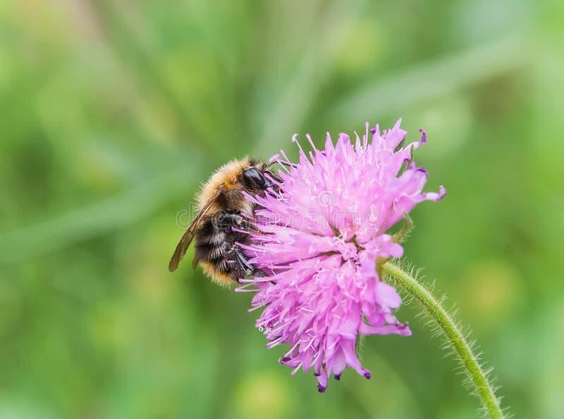 Pszczoła na menchia kwiacie obrazy royalty free