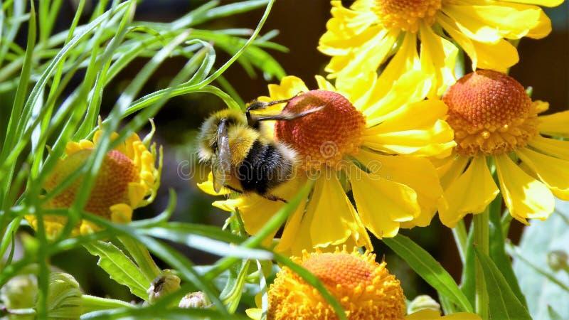 Pszczoły Zbieracki Pollen od Wibrującej Żółtej stokrotki fotografia royalty free