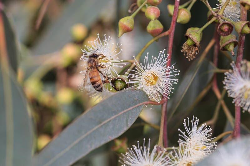 Pszczoły zbierają eukaliptusowego nektar (miód) obraz stock
