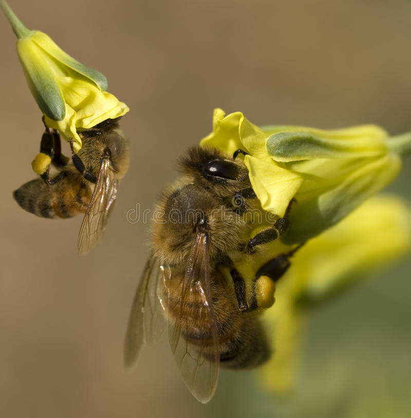 pszczoły zbierają kwiatów pollen wiosna kolor żółty obrazy royalty free