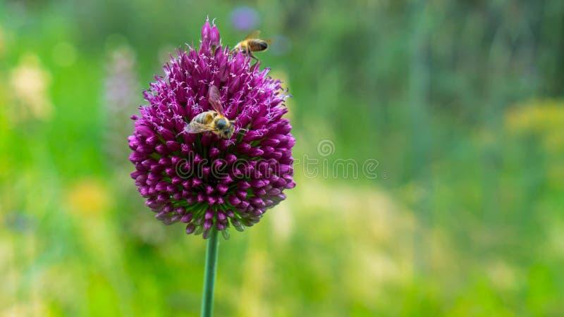 Pszczoły zbierają kwiaty na kwiatach fotografia royalty free