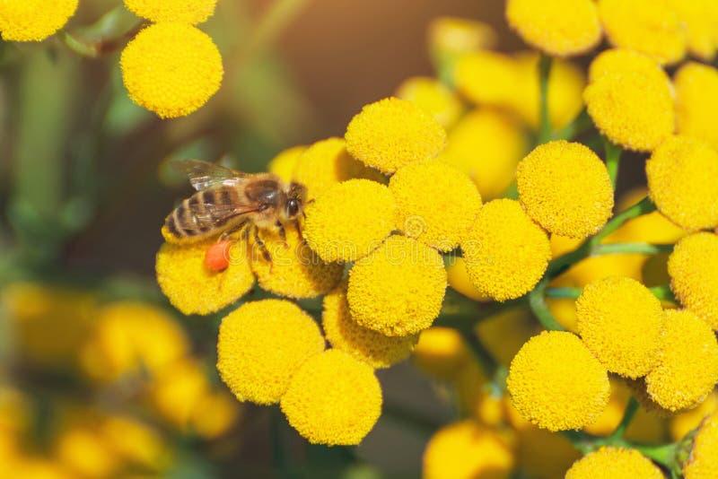 Pszczoły zbierają miód i zapylają wildflowers na słonecznym dniu zdjęcie stock