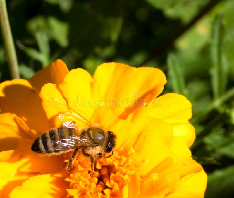 pszczoły zbliżenia kwiatu miód fotografia stock