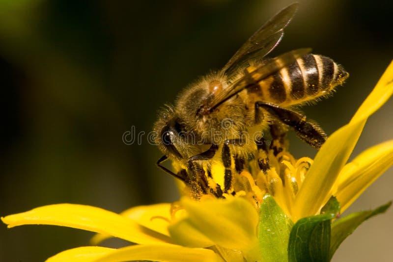Download Pszczoła obraz stock. Obraz złożonej z kwiat, natura, pluskwa - 173957