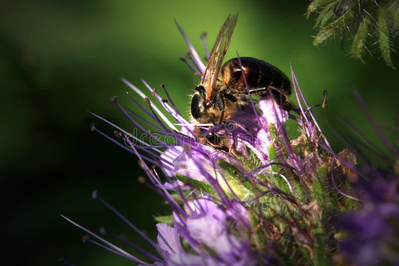 Pszczo?a, apis mellifera i miodowej ro?liny phacelia, obraz stock