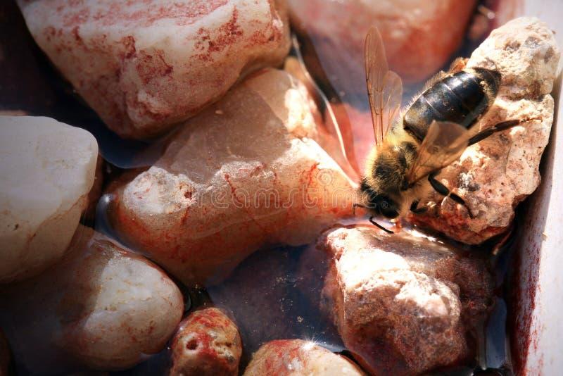Pszczo?a, apis mellifera przy waterhole w pasiece zdjęcia stock