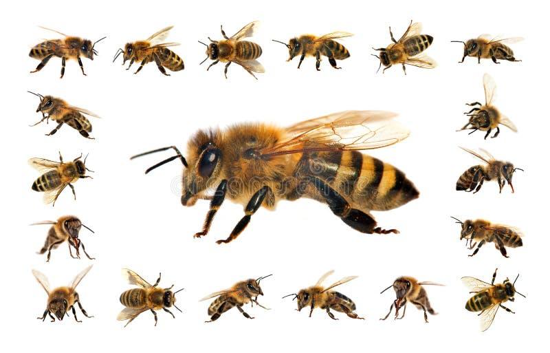 Pszczo?a lub honeybee odizolowywaj?cy na bia?ym tle zdjęcia stock