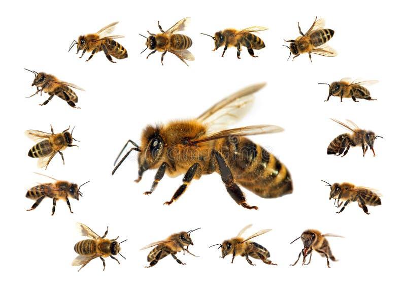 Pszczo?a lub honeybee odizolowywaj?cy na bia?ym tle obrazy stock