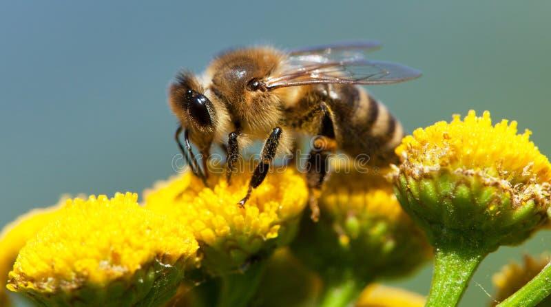 Pszczo?a lub honeybee zapylaj?cy ? zdjęcia royalty free