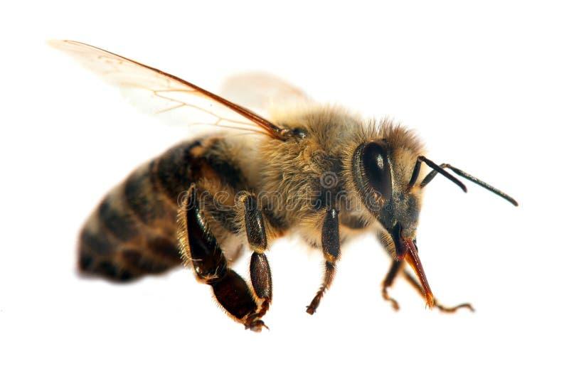 Pszczo?a lub pszczo?a odizolowywaj?ca na bielu honeybee lub miodu zdjęcie stock