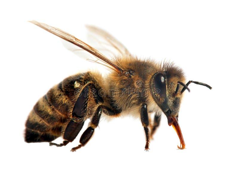 Pszczo?a lub pszczo?a odizolowywaj?ca na bielu honeybee lub miodu fotografia royalty free