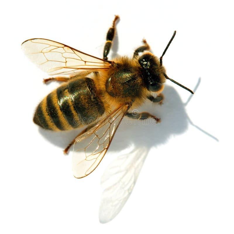 Pszczo?a lub pszczo?a odizolowywaj?ca na bielu honeybee lub miodu zdjęcia royalty free