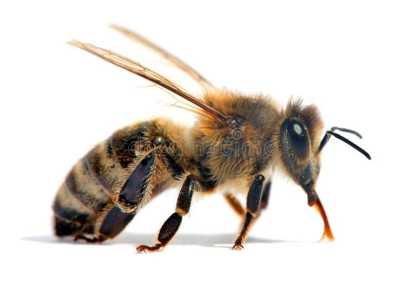 Pszczo?a lub pszczo?a odizolowywaj?ca na bielu honeybee lub miodu obraz stock