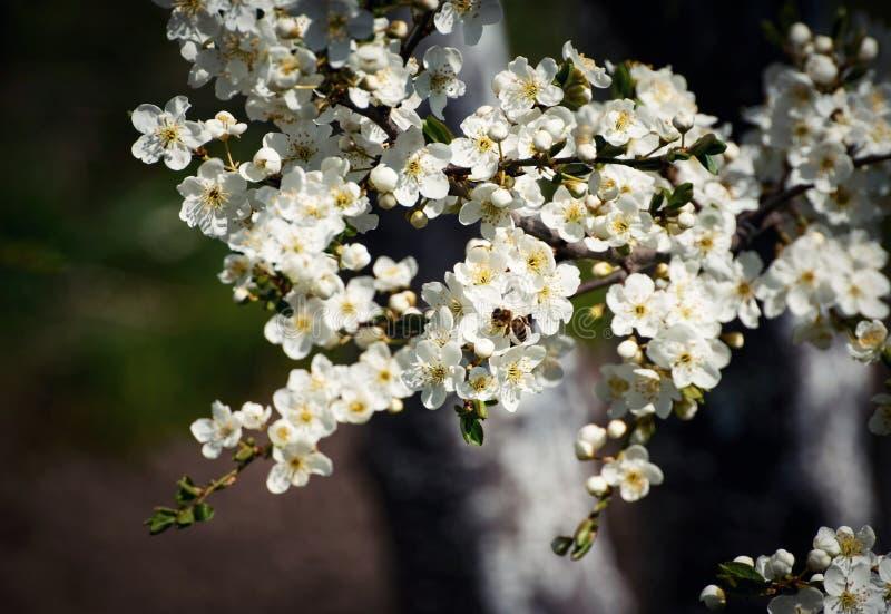Pszczo?a na bia?ych kwiatach fotografia stock