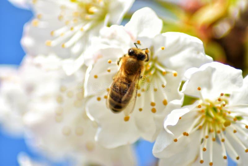 Pszczo?a na Drzewnych kwiatach zdjęcia royalty free