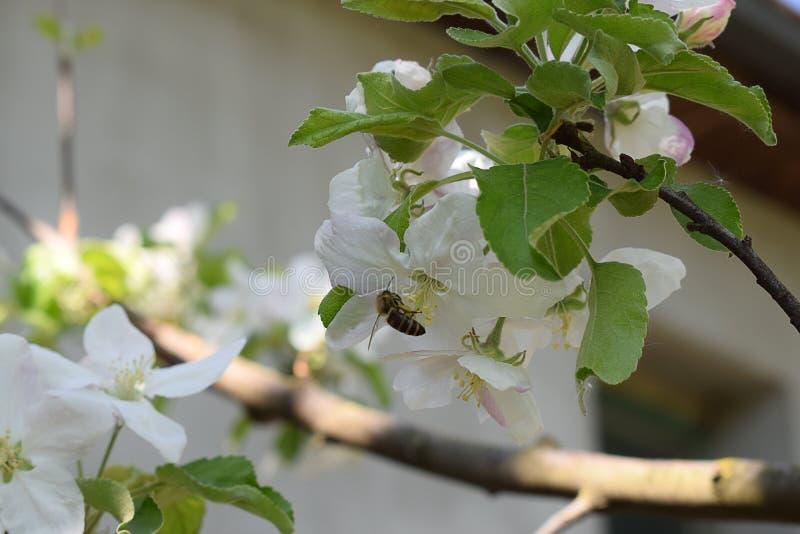 Pszczo?a na jab?czanym kwiacie zdjęcia royalty free