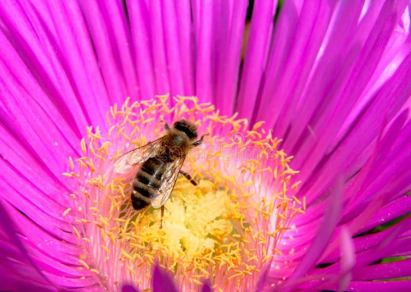 Download Pszczoła na kwiacie obraz stock. Obraz złożonej z insekt - 28960249