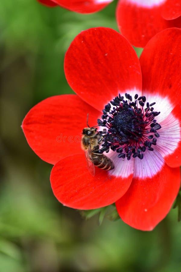 Pszczo?a na kwiacie zdjęcia royalty free