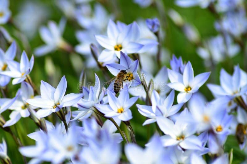 Pszczo?a na kwiacie fotografia royalty free