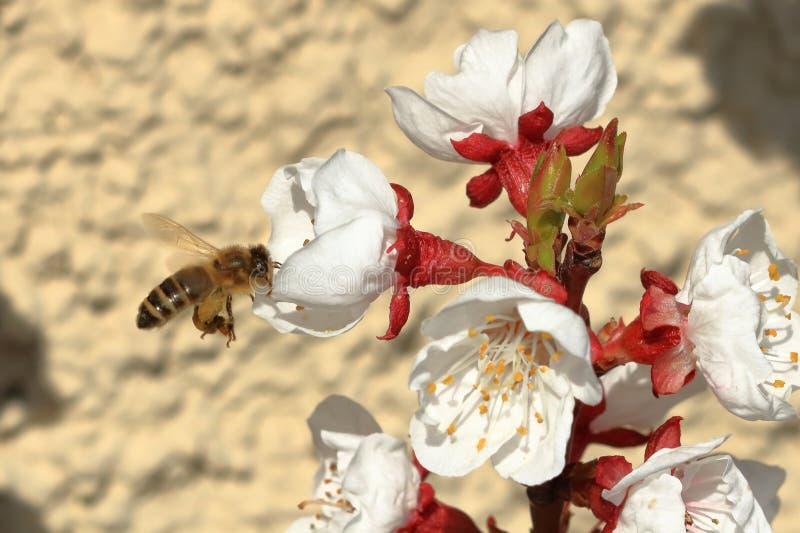 Pszczo?a na morelowych okwitni?ciach obraz stock