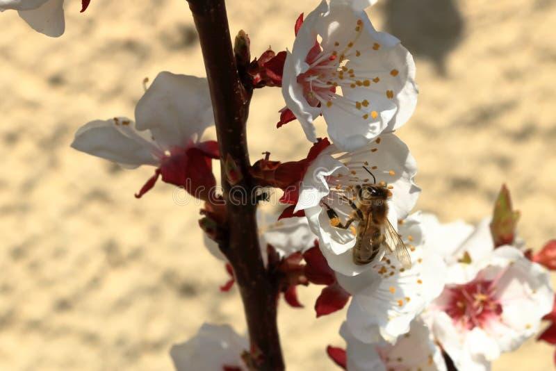 Pszczo?a na morelowych okwitni?ciach zdjęcia stock