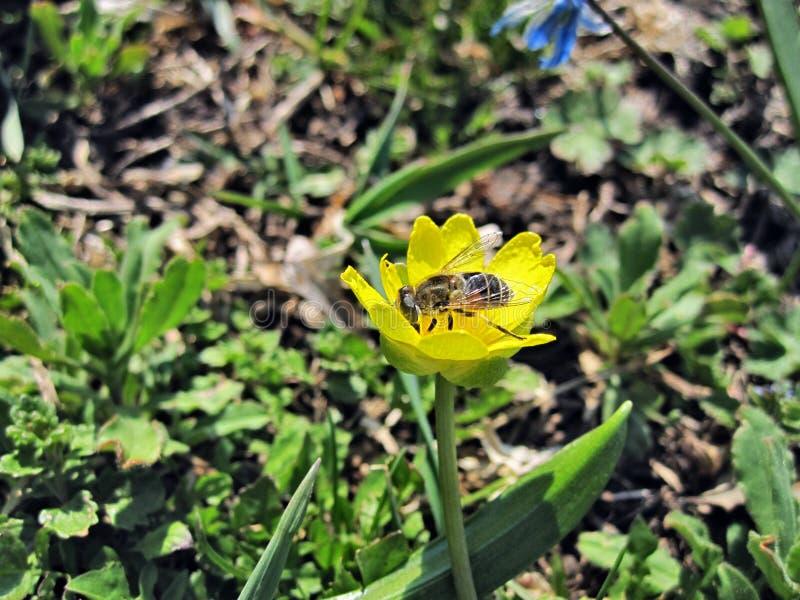 Pszczo?a na ? zdjęcia stock